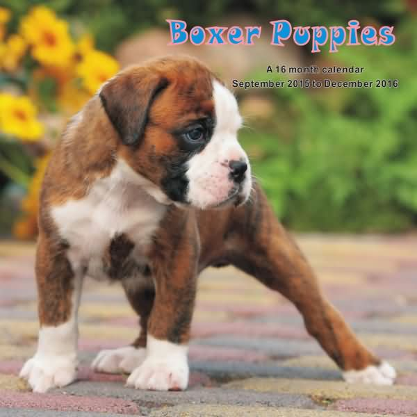 American Boxer Dog For Sale
